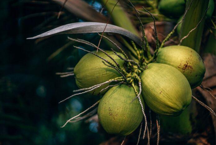 coconut tress and coconut oil advantages